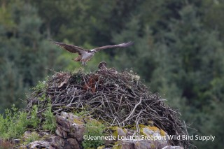 Osprey in Pulpit Harbor. (Photo by Jeannette Lovitch/ Freeport Wild Birding Supply)