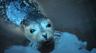 Harbor Seal Pup (Photo NOAA)